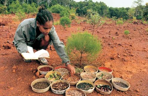 Seed collection for revegetation programs - Goro, New Caledonia - Photo Vale Inco